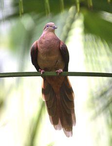 browncuckoodove