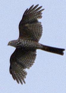 CSparrowhawk
