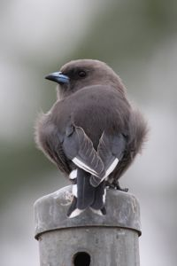 DWoodswallow