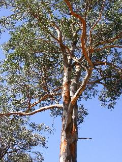 eucalyptuspunctata1