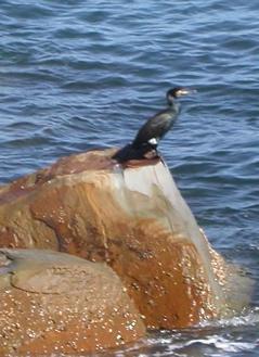 gcormorant