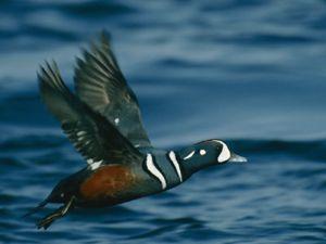 Harlequin-Duck