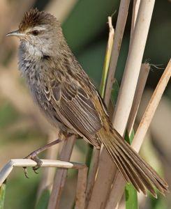 LGrassbird