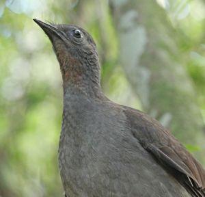 LyrebirdMinnamurra