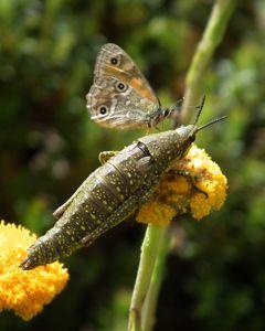 orangealpinexenica_spottedmountaingrass
