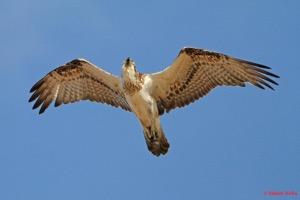Osprey_-_Long_Reef_-_Collaroy,_NSW_-_010815_-_9
