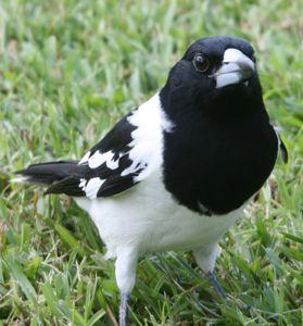 PButcherbird