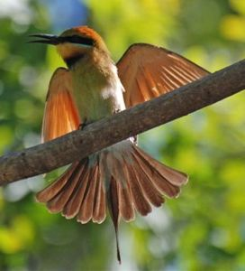 RBee-eater