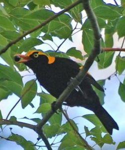 RBowerbird