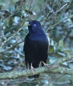 SBowerbird