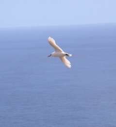 Soaring Red-tailed Tropicbird