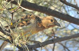 SpottedBowerbird