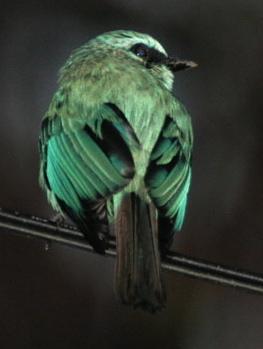 vflycatcher