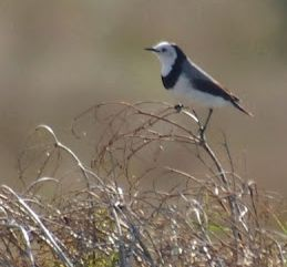 white-frontedchat