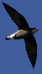 white-throatedneedletail