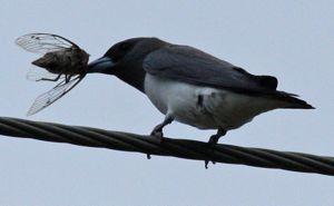 woodswallow